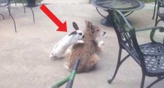 Il coniglio vuole a tutti i costi giocare col cane e cerca di convincerlo in modo curioso ma... Niente!