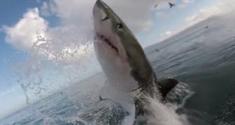 Een man filmt een haai vanuit een haaienkooi als het dier plotseling een sprong maakt...