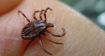 Zecken-Boom in den USA: Wissenschaftler warnen vor dem tödlichen Powassan-Virus.