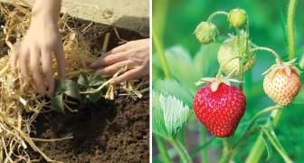 Imparare a coltivare le fragole con questa guida passo dopo passo è più facile di quanto pensi