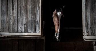 Ainsi l'industrie pharmaceutique s'enrichit... en torturant les chevaux