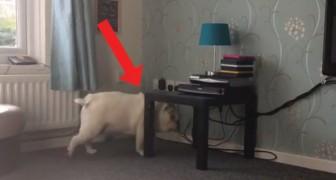 Il bulldog decide di passare sotto al tavolino ma chiaramente non è conscio delle sue dimensioni