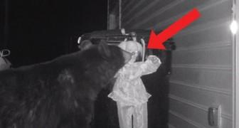 Ein Bär überfällt eine Mülltonne, aber er bemerkt nicht, dass jemand dort Wache steht
