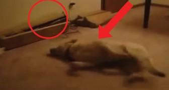 De hond is aan het schudden in zijn slaap... wat er dan gebeurt, had niemand kunnen voorspellen!