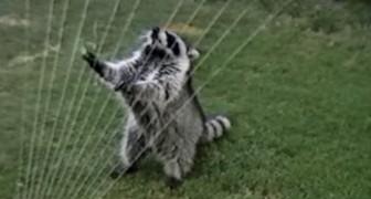 Provate a guardare questo video sugli orsetti lavatori senza innamorarvene: impossibile!
