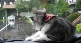 What sends this cat into a frenzy? Windshield wipers! :D