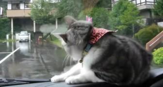 Es ist ein regnerischer Tag: die Bewegung der Scheibenwischer macht die Katze verrückt
