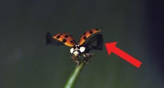 Slow motion flight of a ladybug ... mesmerizing!