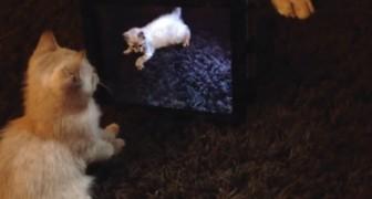 Scambia il gatto del video per un amico e fa di tutto per convincerlo a giocare