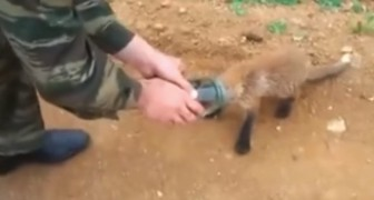 El cachorro de zorro tiene la cabeza encastrada y decide de pedir ayuda a un grupo de hombres