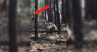 Björnen vill fånga den lilla ungen men håll ett öga på mamma älg