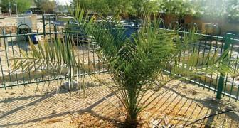 C'est la germination la plus ancienne: d'une graine vieille de 2000 ans est né un palmier très spécial