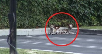 Estos 3 chihuahua no se fian mas del hombre, pero mirenlos luego de algunos dias...