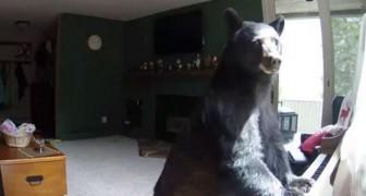 Un orso si intrufola in casa, ma prima di andare via... SUONA il pianoforte
