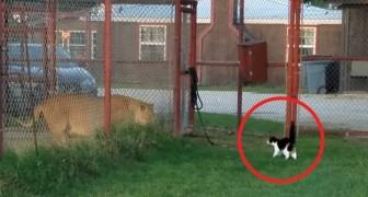 In een opvangcentrum voor grote katten daagt een kat een leeuw uit: de eigenaar van de kat is stomverbaasd... en wij ook!
