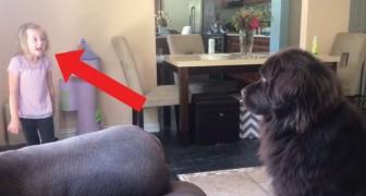 Leçons de dressage: les indications de la petite fille laissent le chien perplexe et... on le comprend!