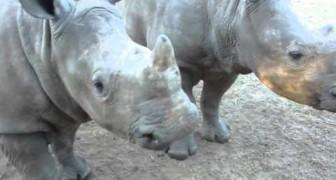Avete mai sentito due baby rinoceronti?