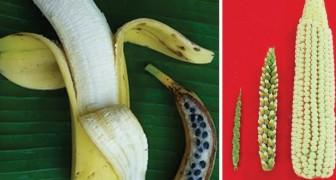 So sahen Obst und Gemüse aus bevor sie der Mensch verändert hat