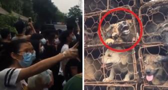 Festival de la viande de chien: des militants sauvent plus de 1000 chiens et chats, dont beaucoup ont été volés à des familles