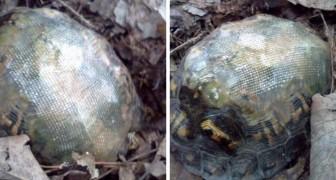 Een dierenarts repareert het schild van een schildpad met glasvezel en laat hem opnieuw vrij in de natuur: een paar jaar later treft hij hem zo aan
