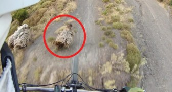 A weird event! --- a mountain biker almost lands on a sheep!