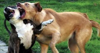 Ein Tierarzt zeigt 6 sichere Methoden, um einen Streit unter Hunden zu beenden