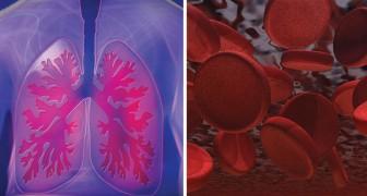 Découverte une fonction inattendue des poumons: une étude révèle qu'ils produisent des plaquettes sanguines