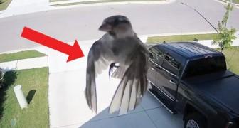 De vleugels van deze vogel zijn perfect gesynchroniseerd met de camera: het resultaat is HYPNOTISEREND!