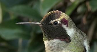 C'è un particolare della testa del colibrì che non conoscete: scopritelo con questo affascinante video