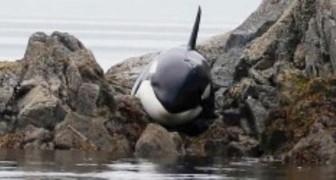 Questa orca era rimasta bloccata sugli scogli. Ciò che hanno fatto per salvarla è eroico