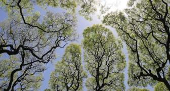 Le chiome di questi alberi evitano misteriosamente di toccarsi a vicenda