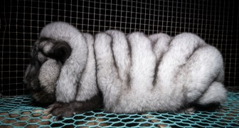 Volpi geneticamente modificate: svelata un'orribile verità dietro il mercato delle pellicce