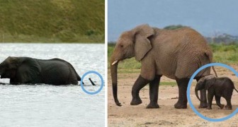 Alcuni adorabili cuccioli di elefante che ti faranno sorridere all'istante