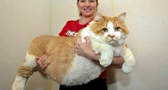 15 gigantic cats that it is almost impossible not to fall in love with