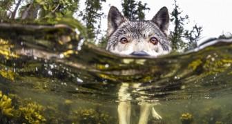Ecco a voi i rarissimi lupi marini che vivono nell'oceano e possono nuotare per ore