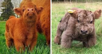 Hier das Highland- Rind: Die schottische Rinderart