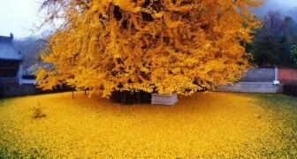 Un Ginkgo millenario perde le sue foglie e avvolge questo tempio buddista in un mare dorato