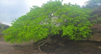All the secrets regarding the tree of death one of the most dangerous plants on earth!