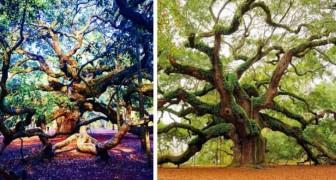 Cet énorme chêne vieux de 400 ans est l'un des êtres vivants les plus fascinants sur Terre