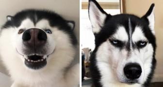 16 Fotos die zeigen, dass Huskies die ausdrucksstärksten Hunde der Welt sind