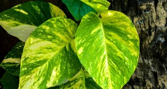 Discover the housecleaner plant that according to NASA eliminates polluting agents from indoor air