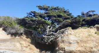 L'Albero di Kalaloch: un enorme abete che non rinuncia alla vita nonostante sia inghiottito da una voragine