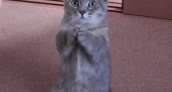 Le chat qui supplie pour ses croquettes