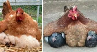 11 fotos de galinhas que tentam proteger os seus estranhos filhotes
