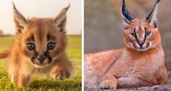 Ecco a voi il caracal, uno dei Gatti più teneri e affascinanti al mondo