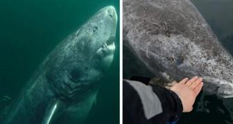 Dieser 512 Jahre alte Hai könnte das älteste Wirbeltier der Welt sein