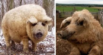Maiale o pecora? Scommettiamo che non conoscevate questa curiosa specie animale!