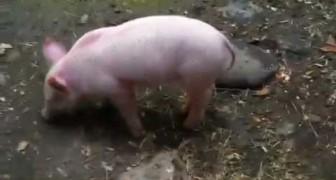 Le cochon qui sauve la chèvre