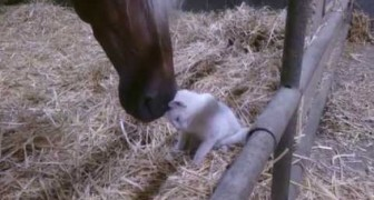 Cat gets cuddled by horse