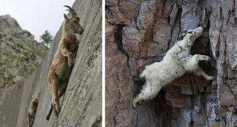 10 photos of goats that do not care about the force of gravity